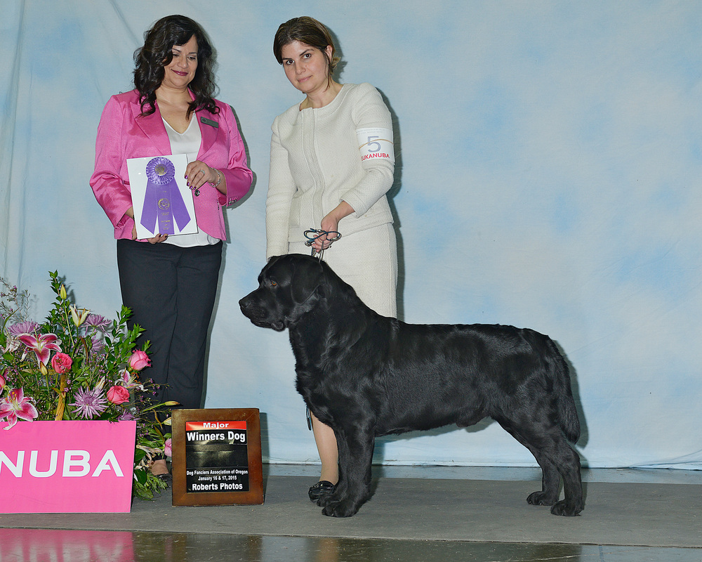 First AKC Points/Major - Handled by Shannon Chapman Dog Fanciers Association of Oregon Judge: Mrs. Allison C. Rogers January 17, 2015