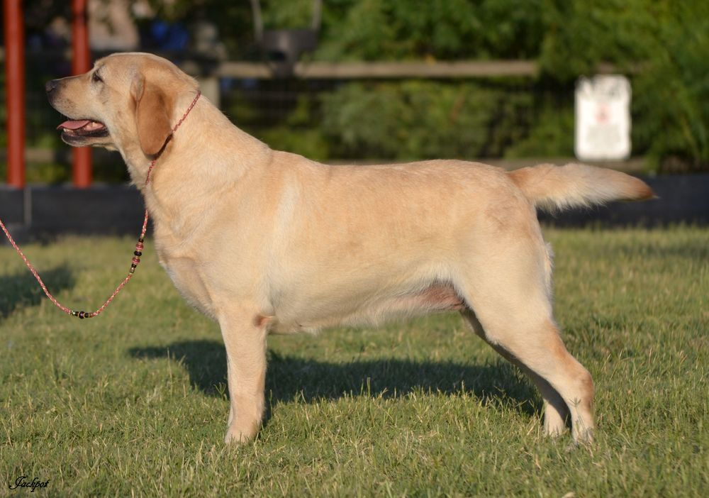 Yellow Show Quality Labrador Retriever Female