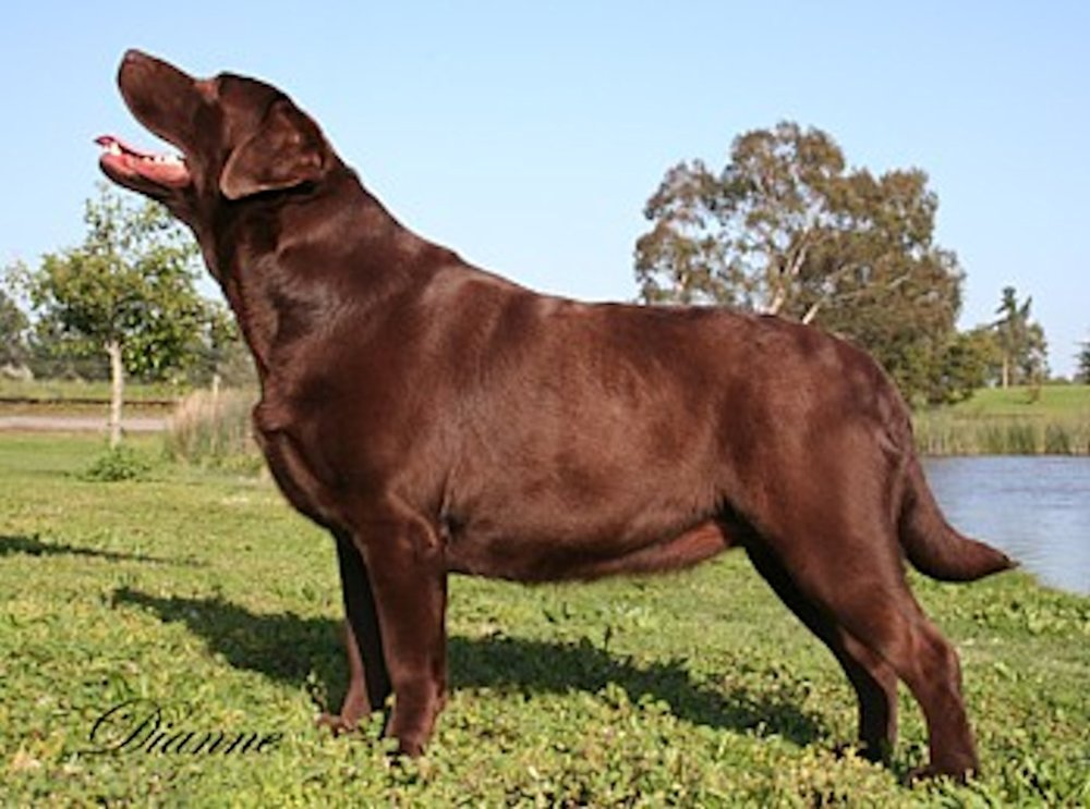 Chocolate Labrador Retriever Female