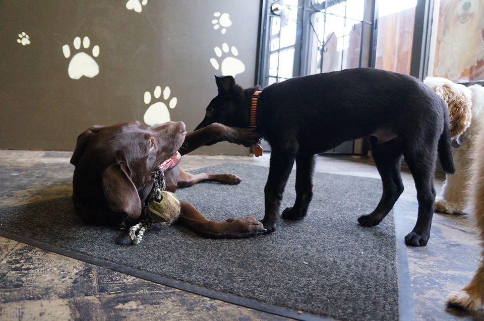 Willow and Lil' Bo play tug-of-war at  Paws & Relax.