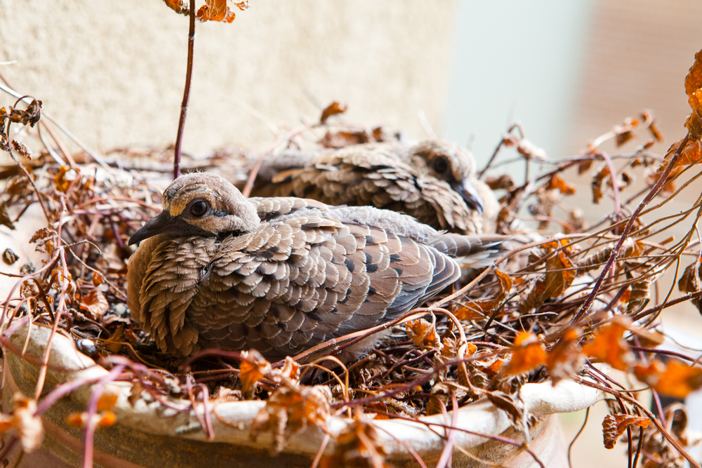 mourning dove-05.jpg