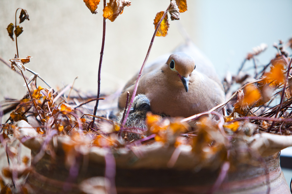 mourning dove-01.jpg
