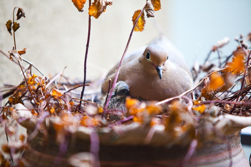 mourning dove-01.jpg