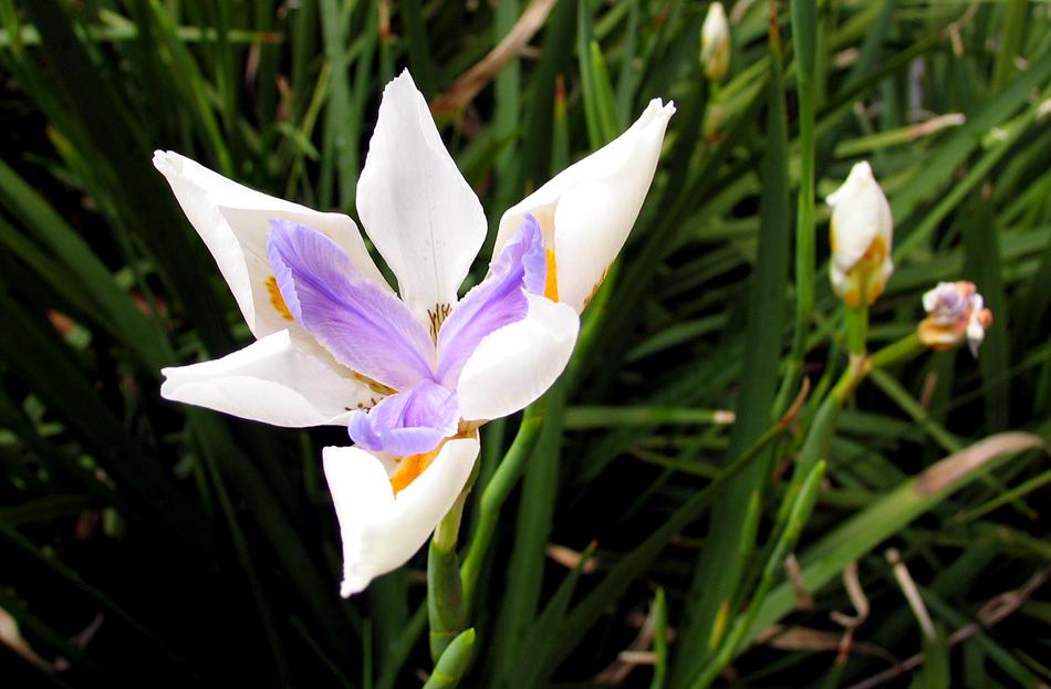 NO blossom white.jpg