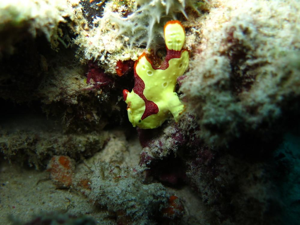 frogfish.diving.indonesia.gilitrawangan