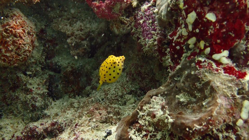 boxfish.scuba.diving.indonesia.gilitrawangan