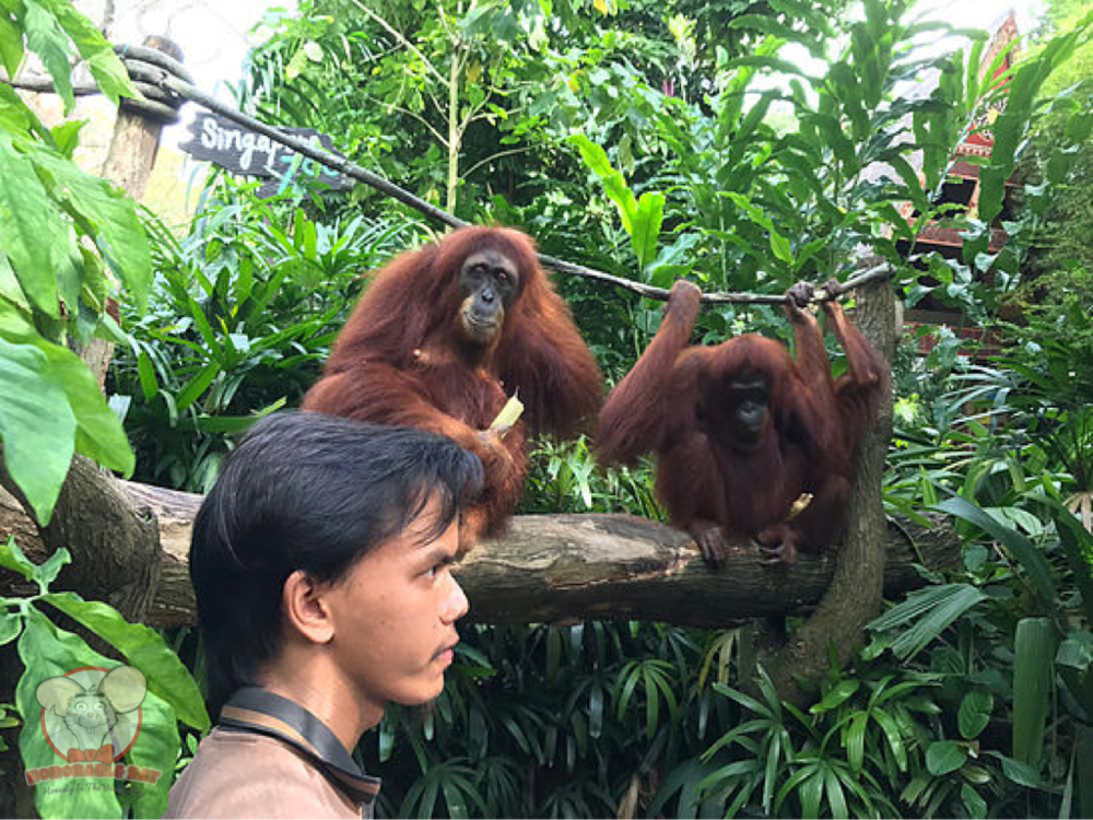 Last but not least, Orang Utans chillin