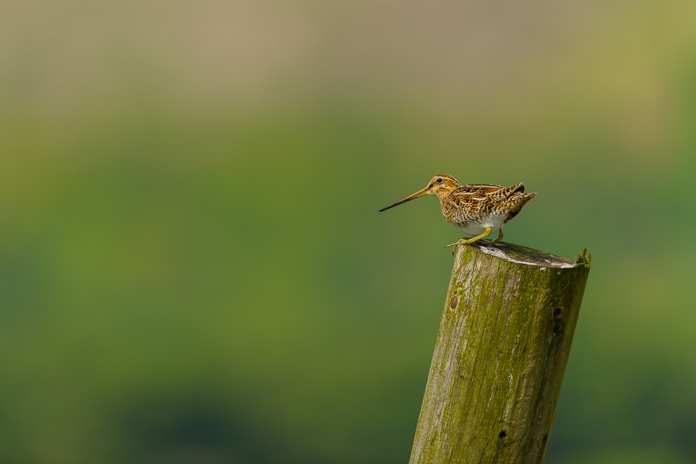 Snipe (Gallinago gallinago) :: © Russell Watkins :: All Rights Reserved
