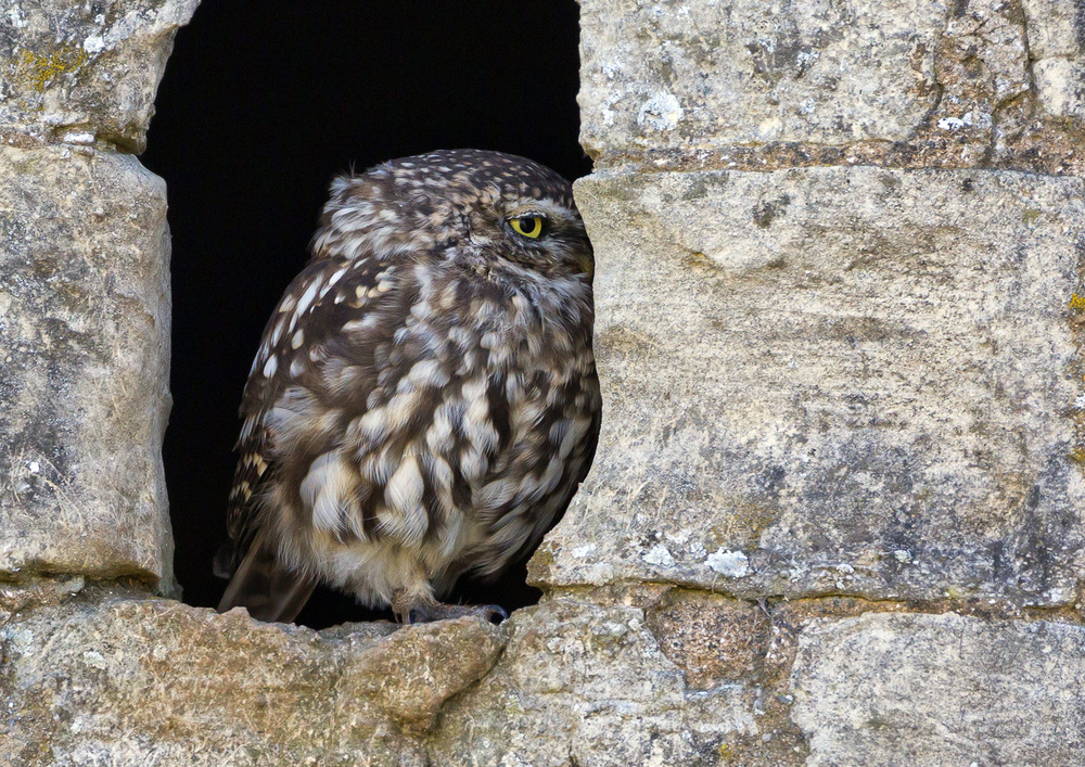 Shy little owl :: Image © Antony Ward