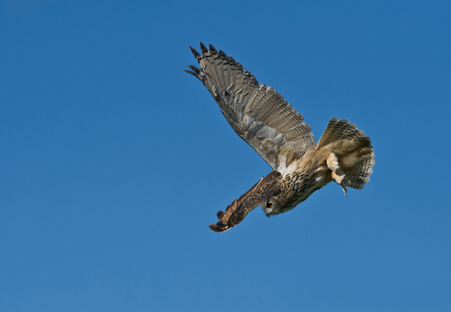 Eagle Owl Dive