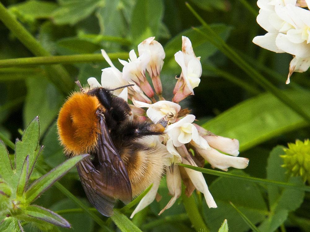 1_Great yellow bumblebee, North  Uist_Allan Highet.jpg