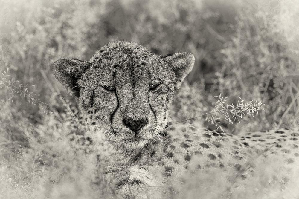 Cheetah Resting_Neville Turton