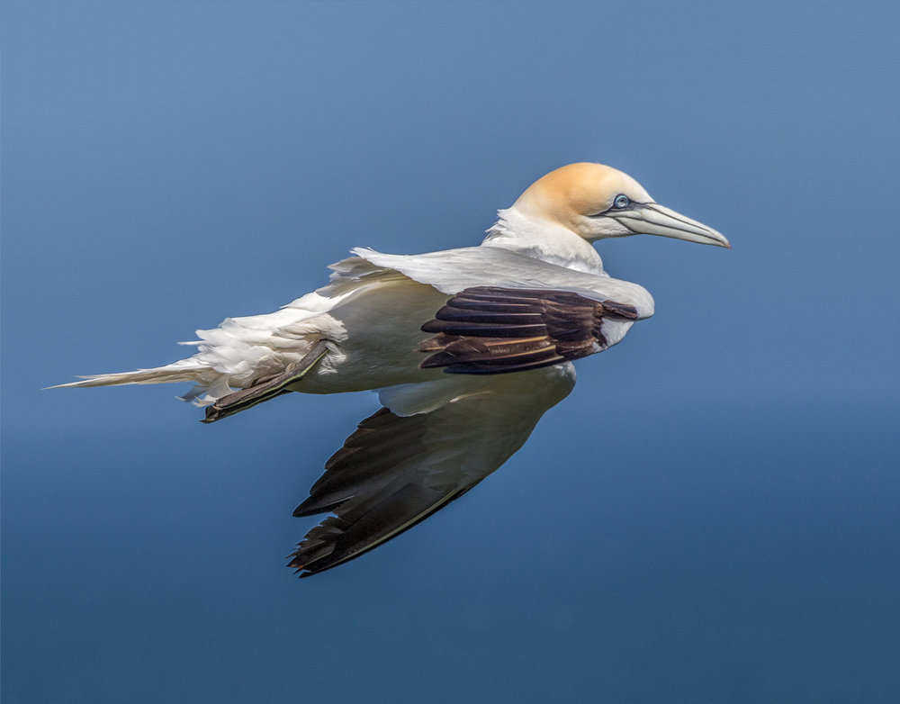 Gannets at Bempton_ (18)-Edit.jpg