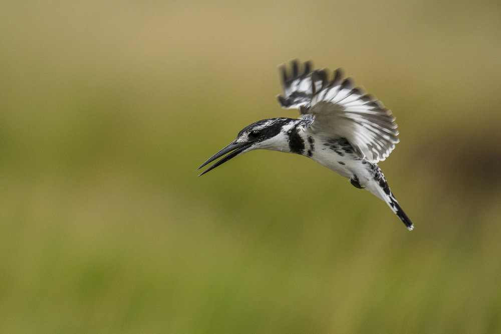 Pied_Kingfisher_David Harrison