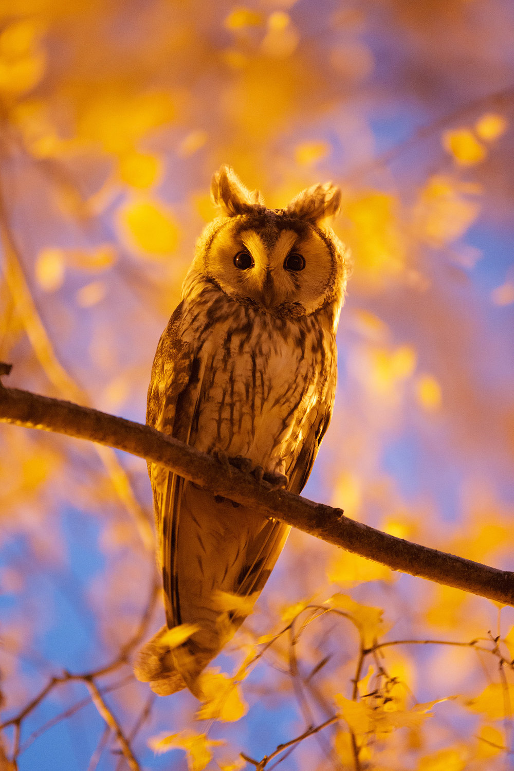 Long eared Owl at twilight, Kikinda, Serbia. 15th December 2017