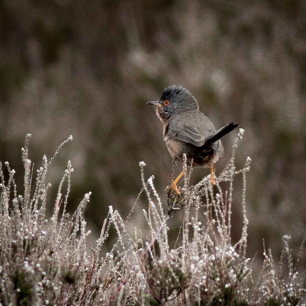 Dartford Warbler_Ian Smith_Commended.jpg