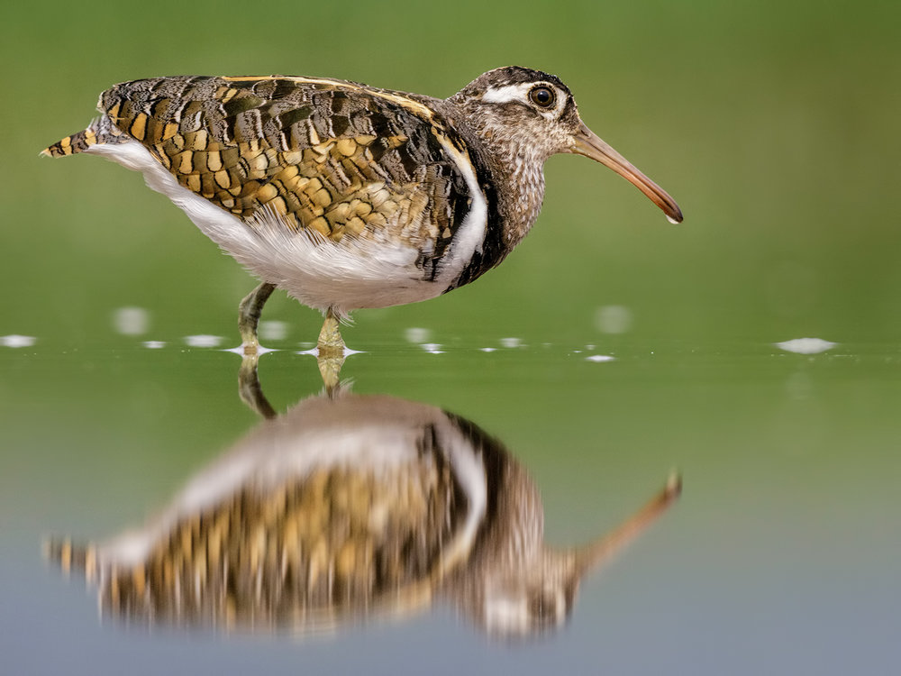 Wood Sandpiper_Neville Turton_Commended.jpg