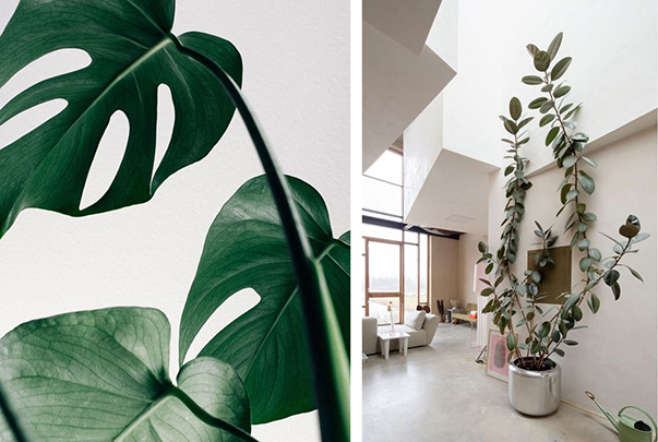 Swiss Cheese Plant and Rubber Tree