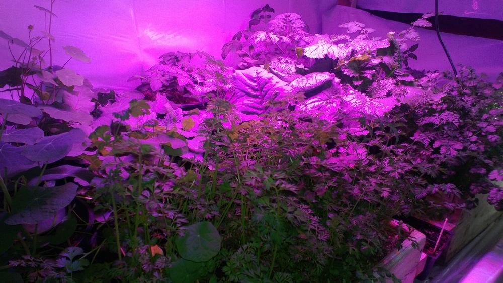 Plants growing under L.E.D. lights in a grow room built by Ben Hughes.