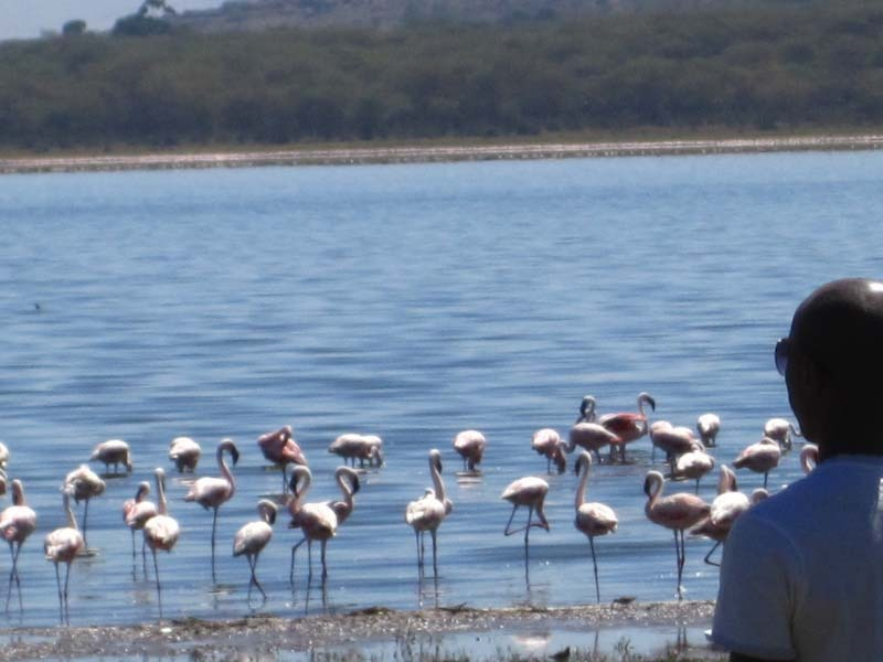 Flamingos at Lake Naivasha