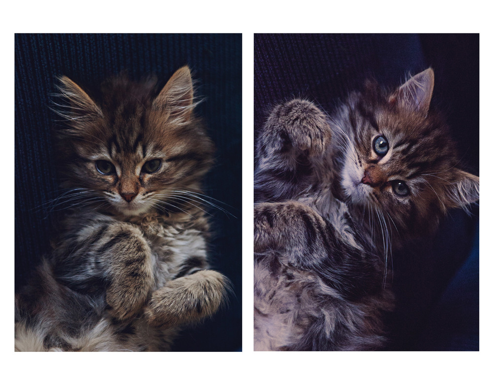 Maine Coon cats seem to be born with the instinct to turn up the cute factor whenever there is a camera around.