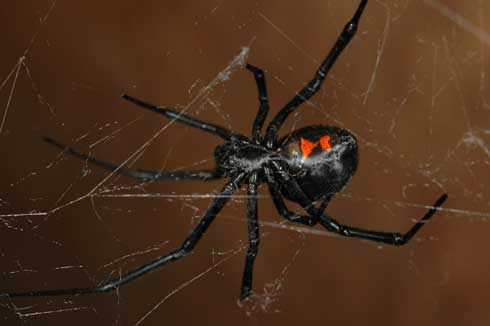 Black widow spider // Credit: University of California (Rick S. Vetter)