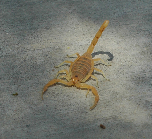Bark scorpion // Credit: Magnus Manske,  CC-BY-SA-3.0