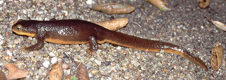 California Newt // Credit: Chris Brown, USGS, Public Domain