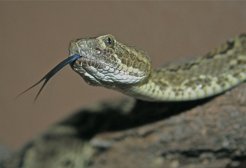 Mojave Green Rattlesnake // Creative Commons via KCET