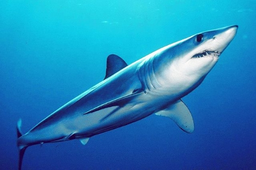 "Shortfin Mako Shark // Credit: ""Isurus oxyrinchus by mark conlin2"" by Mark Conlin, SWFSC Large Pelagics Program - http://swfsc.noaa.gov/ImageGallery/Default.aspx?moid=532. Licensed under Public Domain via Wikimedia Commons"