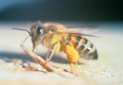 "Africanized Bee // ""Africanizedbee"" by User Larsinio on en.wikipedia - Licensed under Public Domain via Wikimedia Commons"