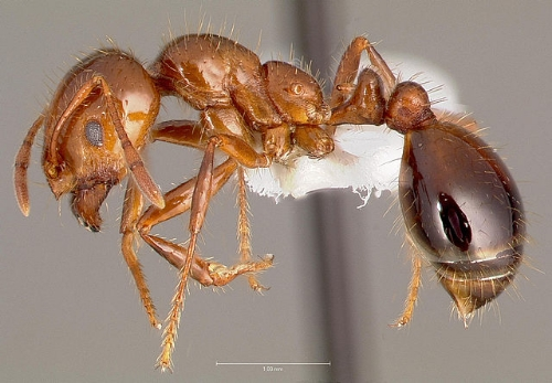 "Red Imported Fire Ant // Credit: ""Solenopsis invicta casent0005804 profile 1"" by The photographer and www.antweb.org. Licensed under CC BY-SA 3.0 via Wikimedia Commons"