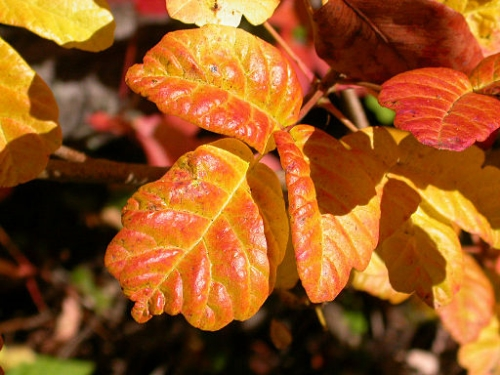 Pacific Poison-oak in autumn // Credit: By Gregg Erickson (Own work, by Gregg Erickson) [Public domain], via Wikimedia Commons