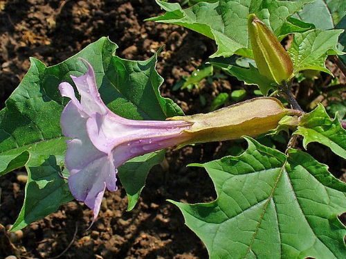 "Jimson Weed // Credit: ""Datura stramonium 002"" by H. Zell - Own work. Licensed under CC BY-SA 3.0 via Wikimedia Commons"