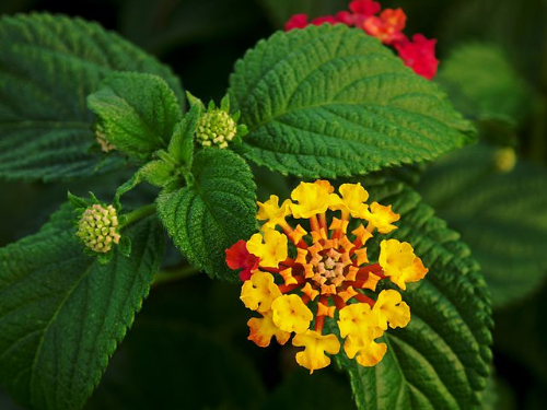 "Lantana // Credit: ""LantanaFlowerLeaves"" by Alvesgaspar - Own work. Licensed under CC BY-SA 3.0 via Wikimedia Commons"