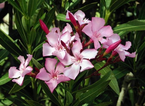 Oleander // Credit: By Alvesgaspar (Own work) [GFDL (http://www.gnu.org/copyleft/fdl.html), CC-BY-SA-3.0  via Wikimedia Commons