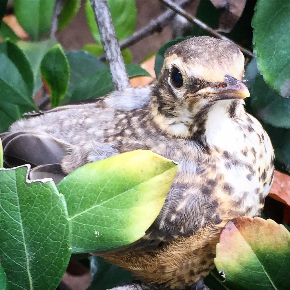 robin_fledgling