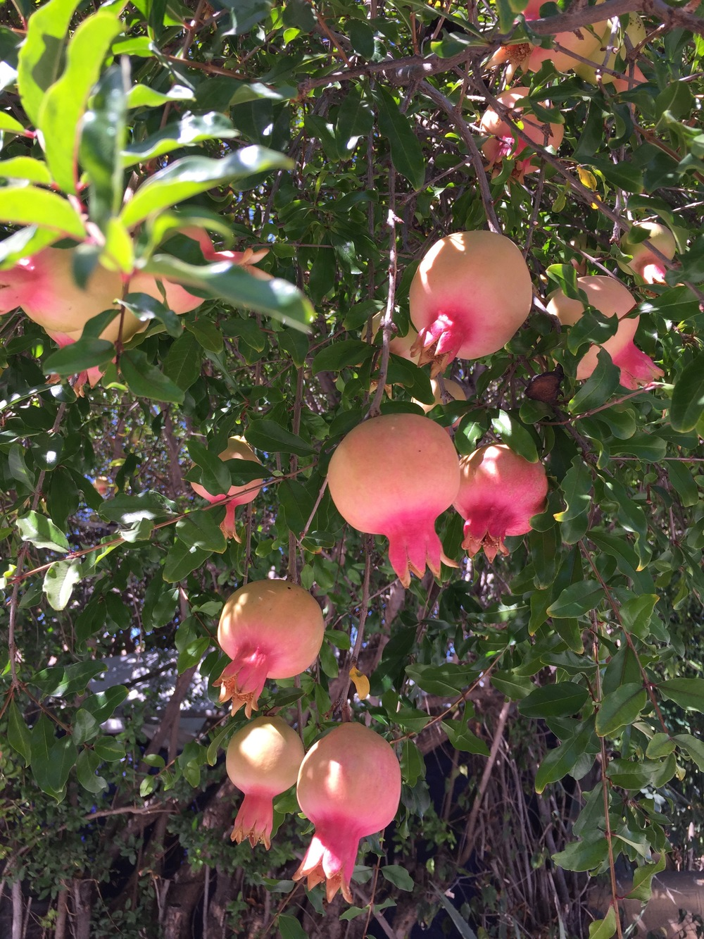 Look at these gorgeous young pomegranates! Location: top secret.