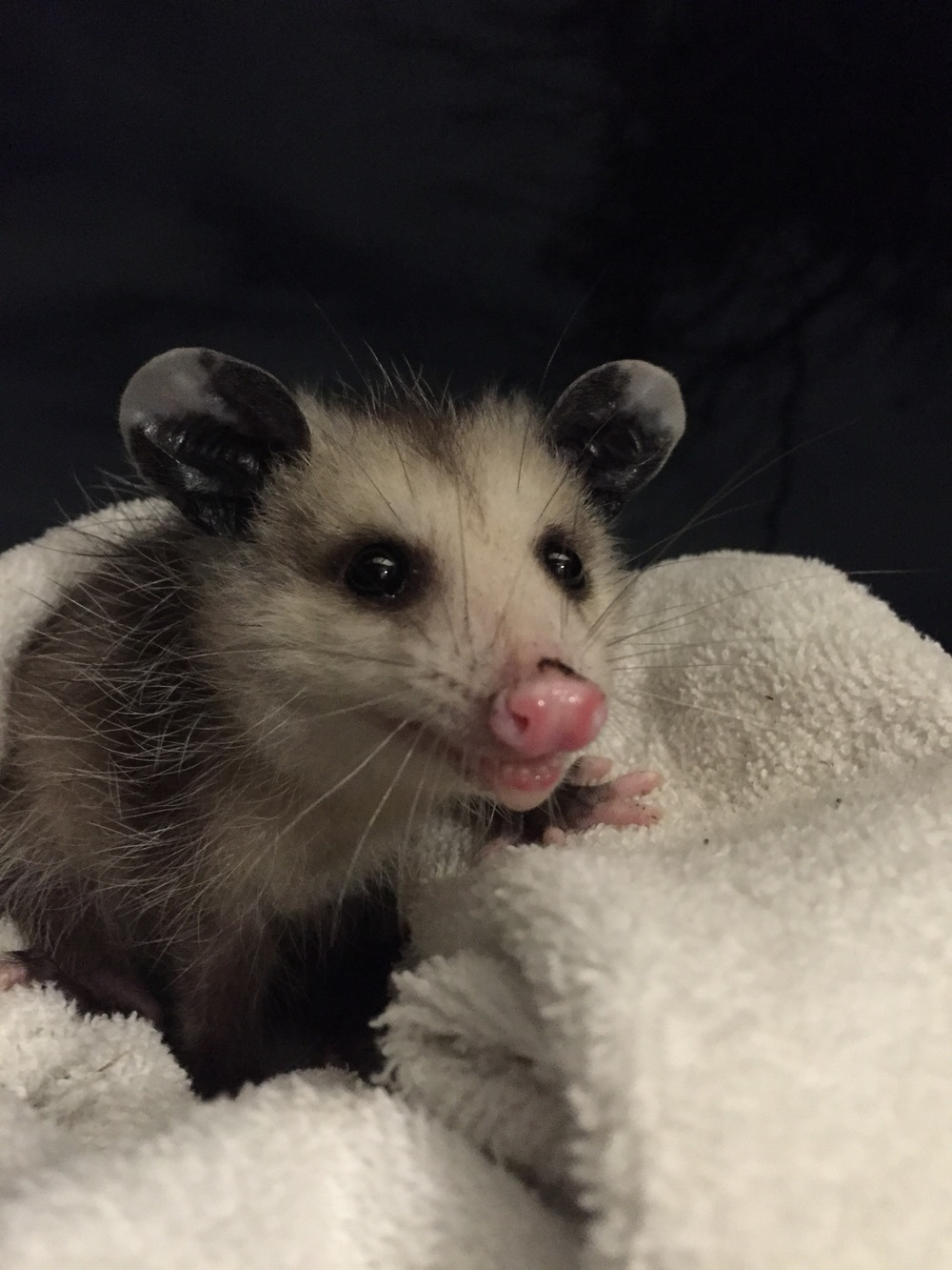 This Handsome Juvenile Opossum Stopped By Our Patio Last Night. After A  Checkup And Warmup It Was Sent On Its Way. It Appeared To Be Completely  Healthy And ...