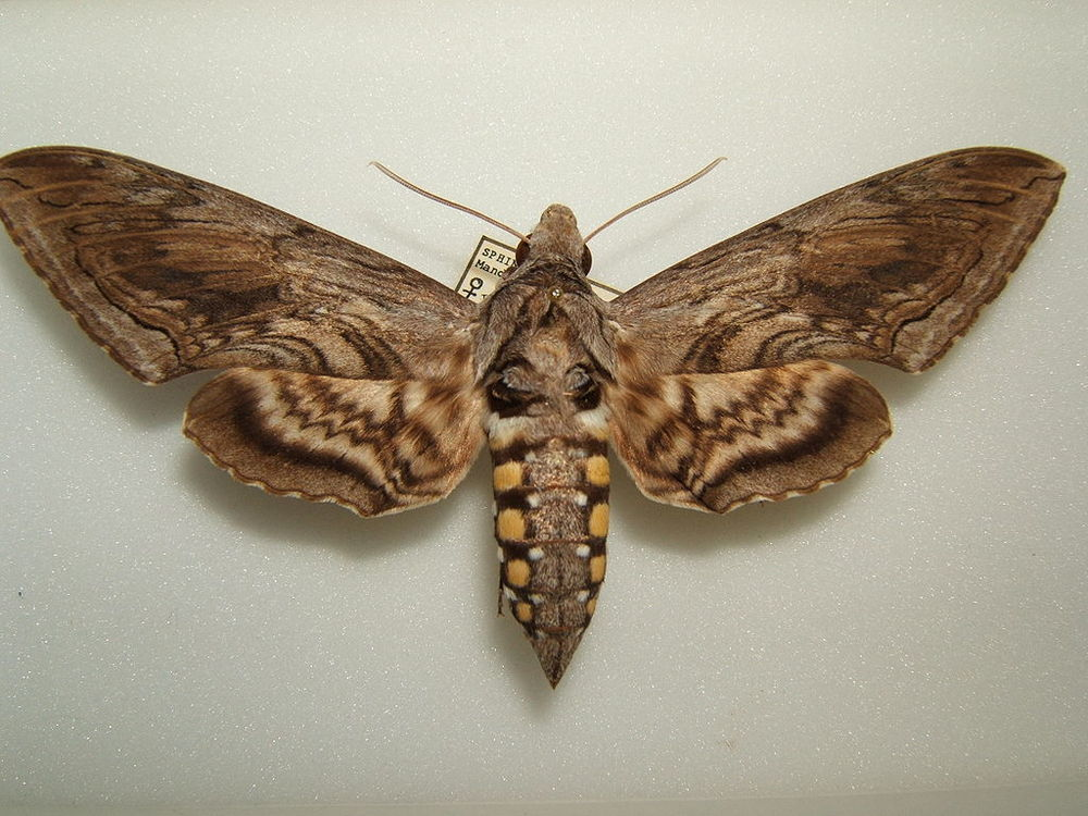 Sphinx Moth ( Manduca quinquemaculata) . Source: Wikimedia Commons
