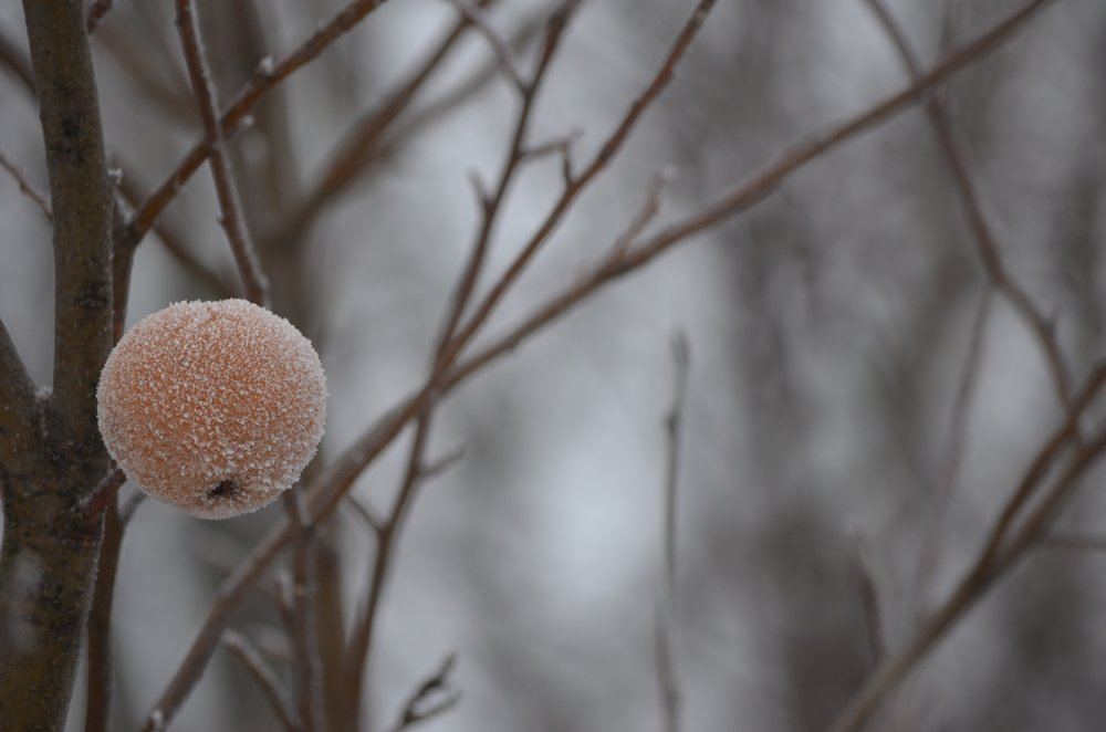 An Apple's Autumn Frost, Michigan 2014, photo credit: Brad Waters, ProvinceJournal.com