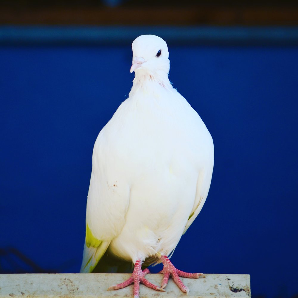 Kuu is our little supermodel. She molted most of her highlighter-yellow feathers and is looking so clean and healthy. As soon as I enter the coop each morning she flies out of the house to await seed scattering.