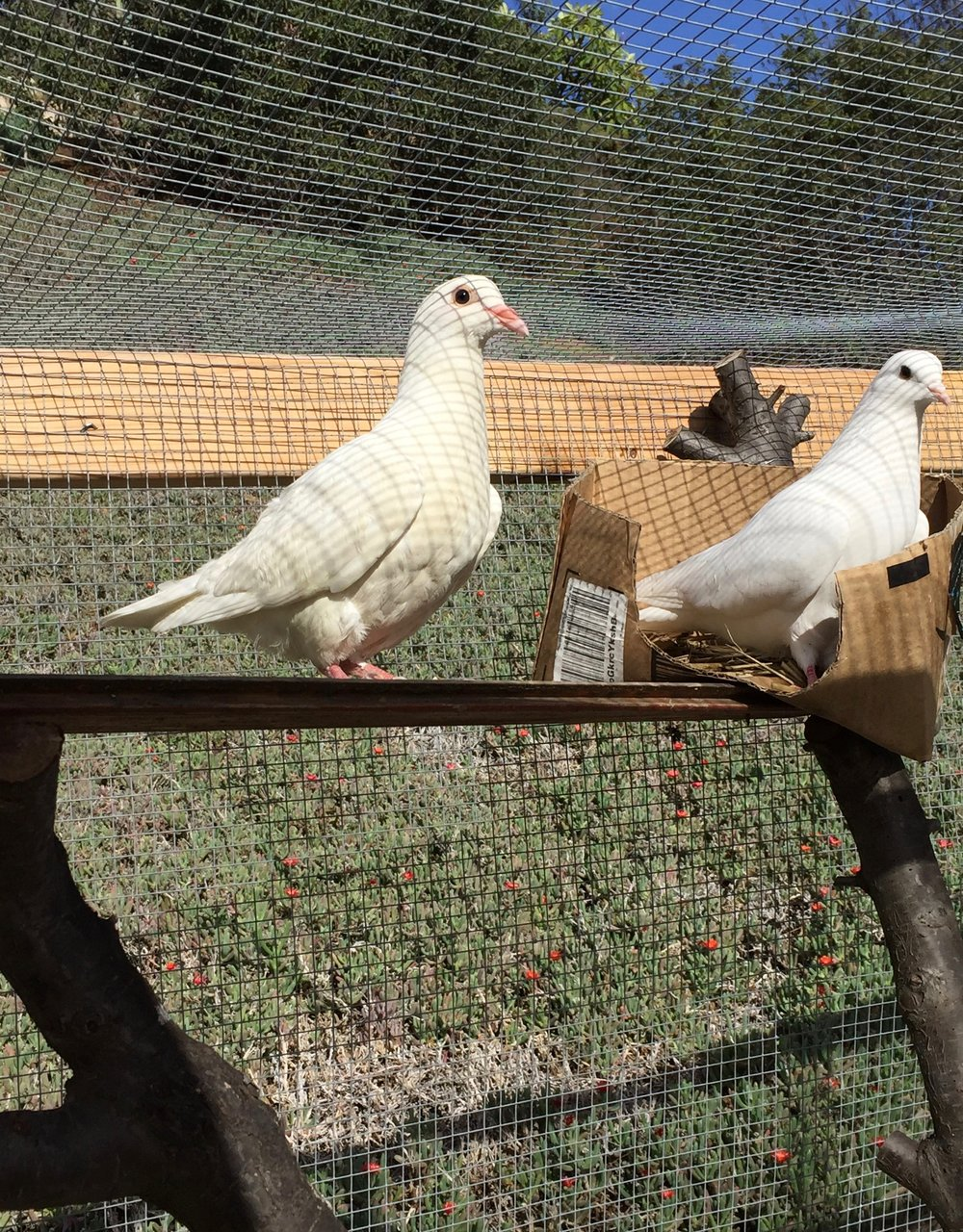 "Kuu is on the right. You can see the contrast between her pristine white feathers and ""new bird"" who probably hasn't been kept in the cleanest conditions."