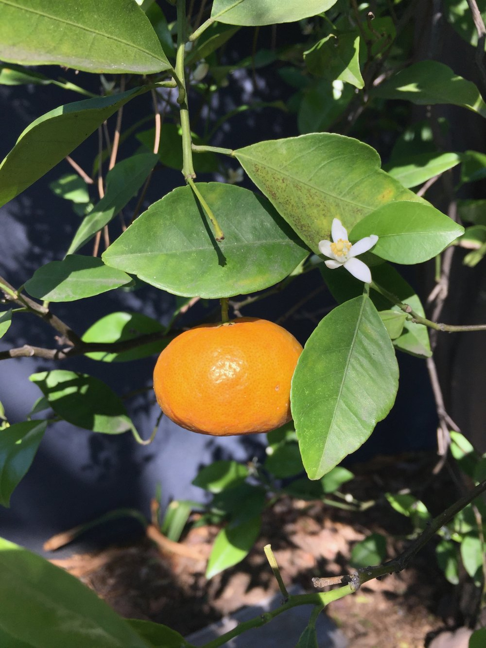 Almost ready for our first ever harvest of mandarins and the tree is flush with heavenly perfumed blossoms.