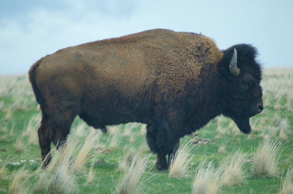 A small heard of bison posed for us (i.e. stopped on the road and prevented us from going forward).
