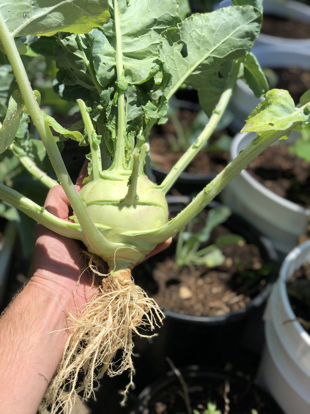 Even the giant 'Superschmelz' kohlrabi grows well in containers. This beauty grew quickly and I'm constantly keeping seeds sprouting for a perpetual harvest. They are SO delicious roasted.