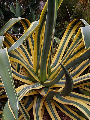 agave-cactus.jpg
