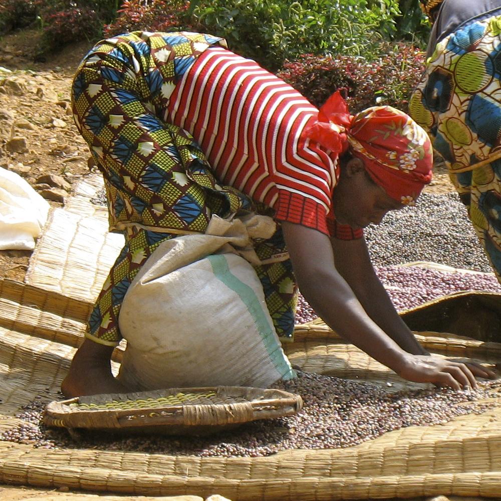 woman picking beans.jpg