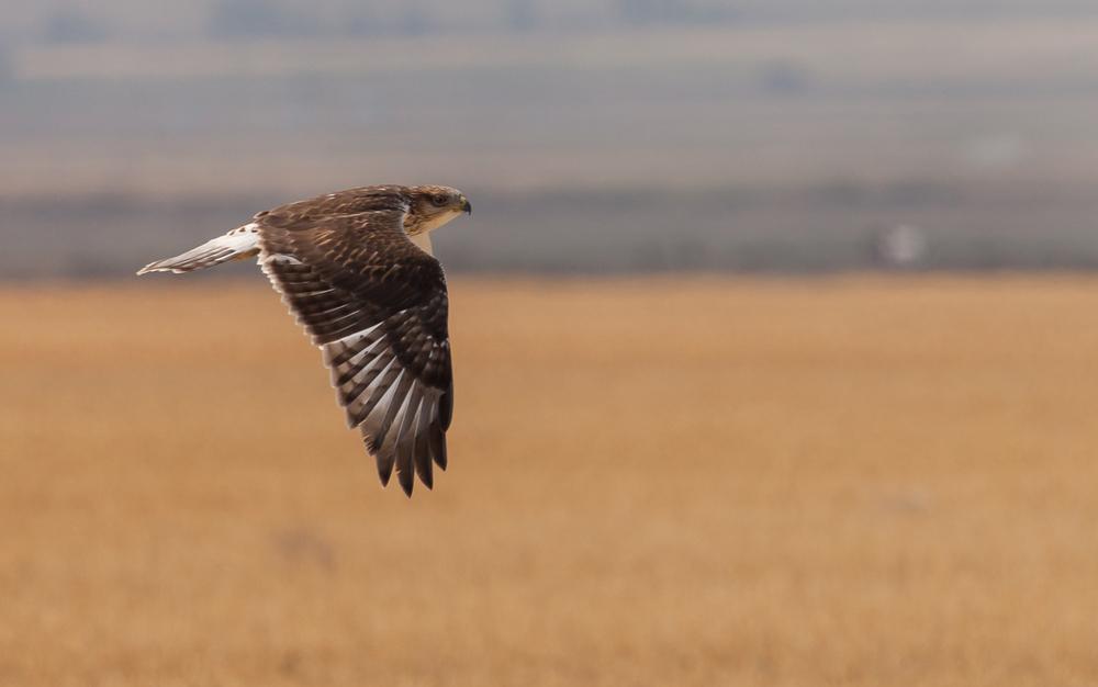Ferruginous Hawk Fly by,