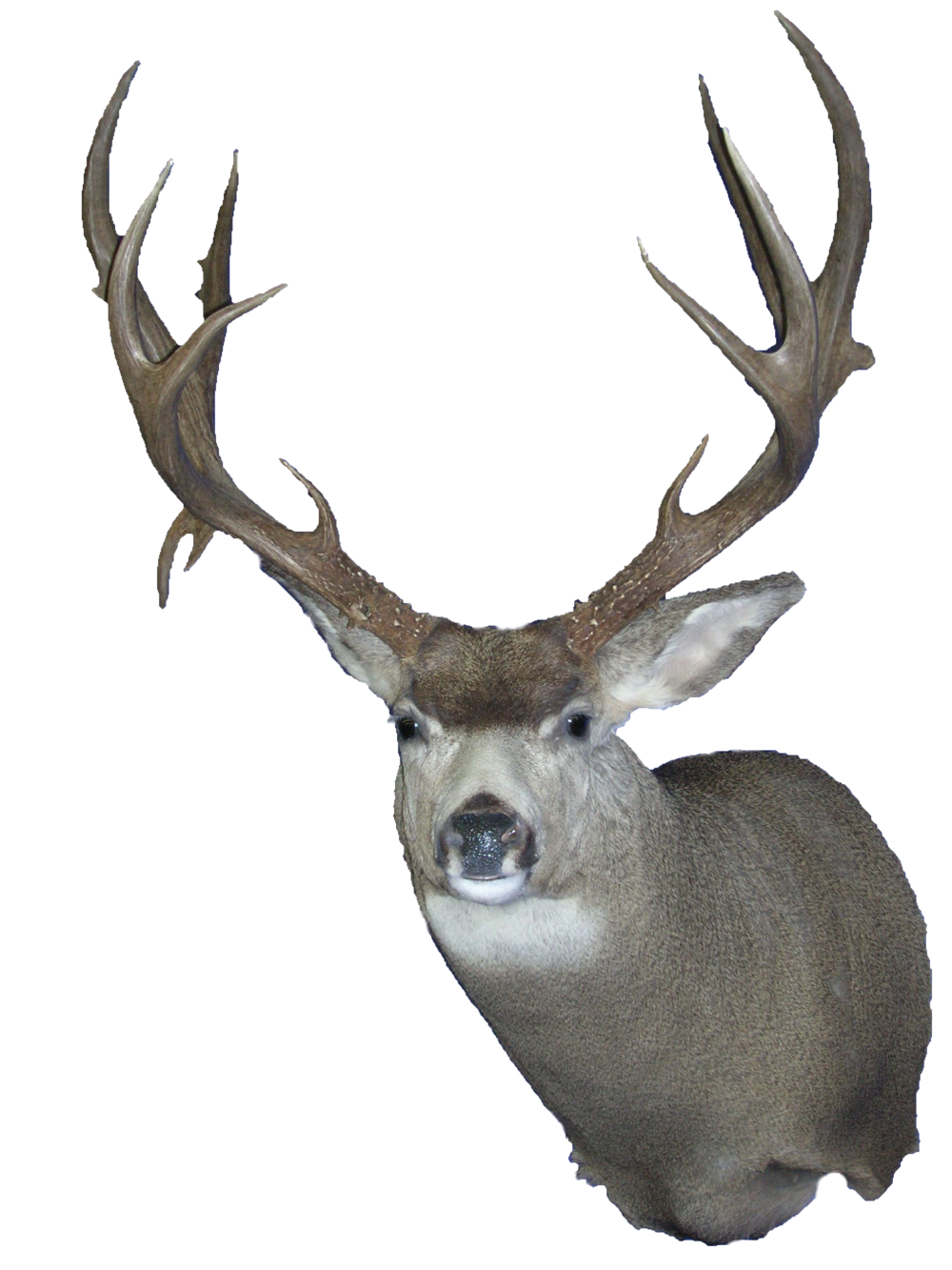 mule deer wall clear.png